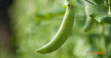 Горох, как бобовая культура, польза гороха, выращивание гороха