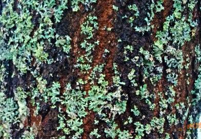 Лишайники на деревьях: как бороться