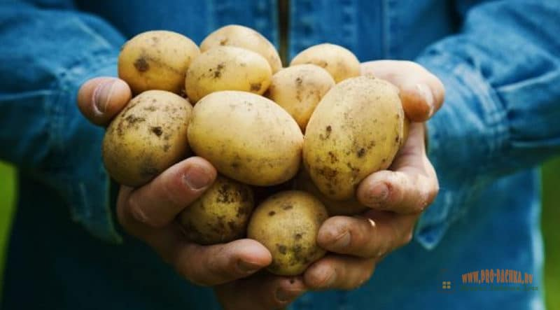 Картофель: польза, хранение, болезни, калорийность