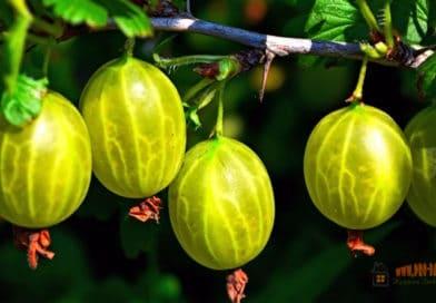 Выращиваем крыжовник без болезней и вредителей